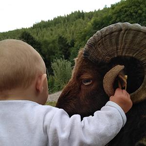 Une-Ferme-a-la-Bassette-Moutons-dOuessant-Belier