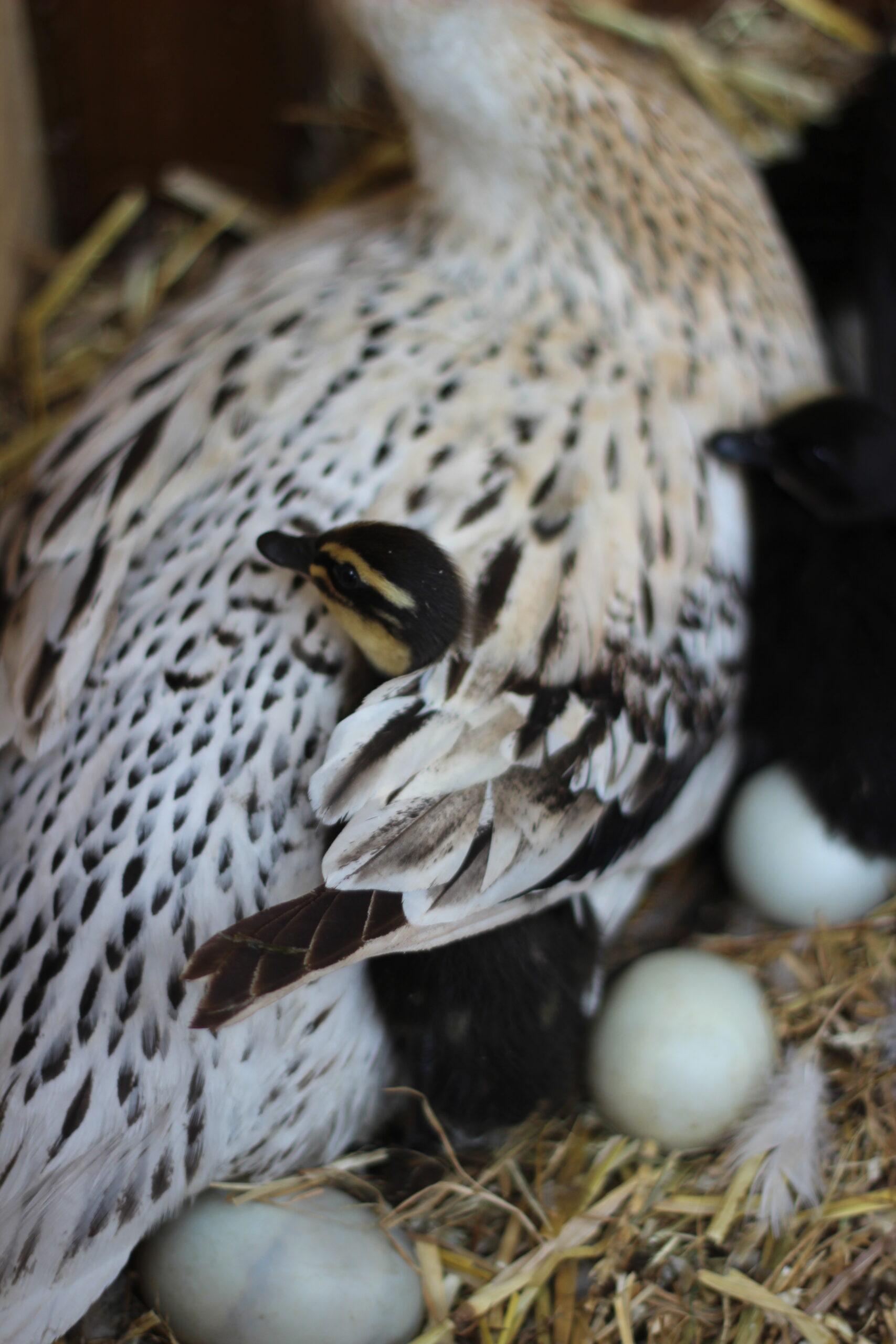 Canards Coureurs Indiens - Une Ferme à la Bassette