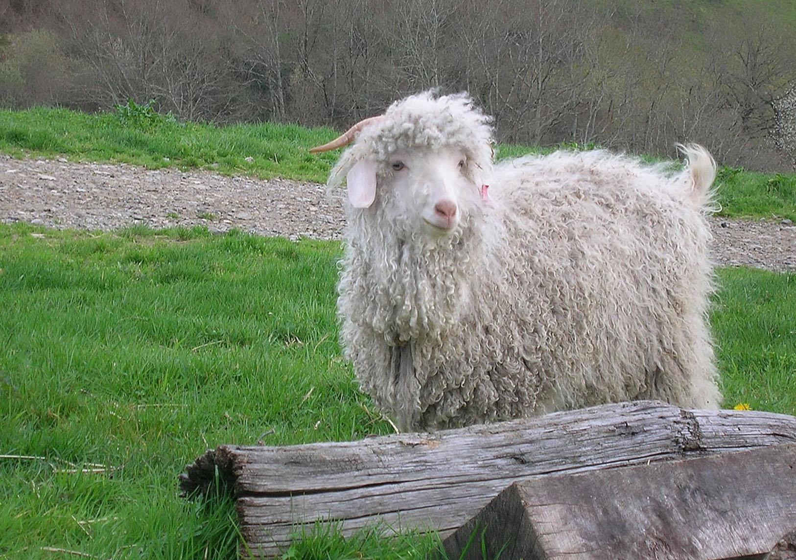 Prologue d'une ferme - Chèvre Angora - Une Ferme à la Bassette