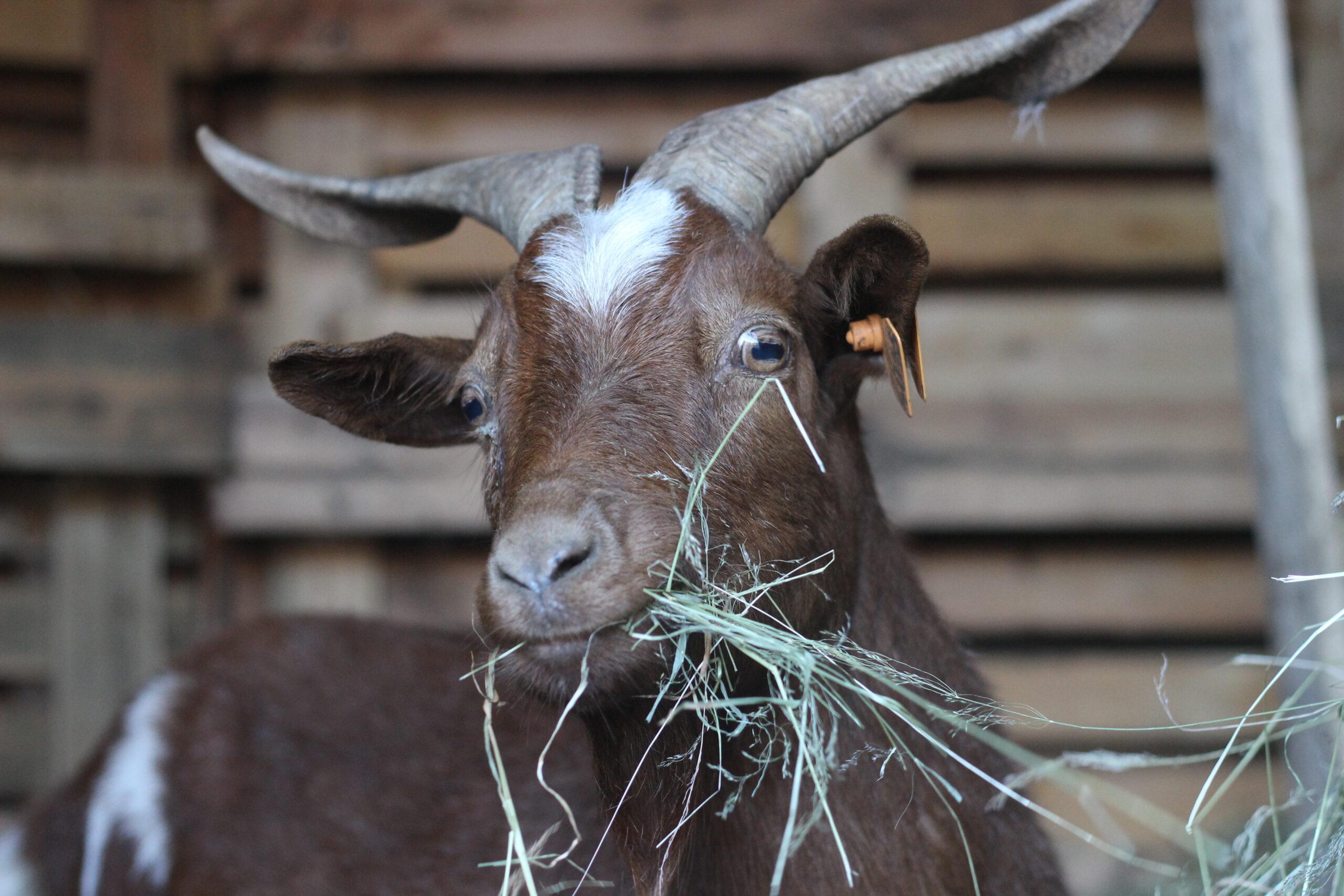 chèvre-rove-roussette-une-ferme-a-la-bassette