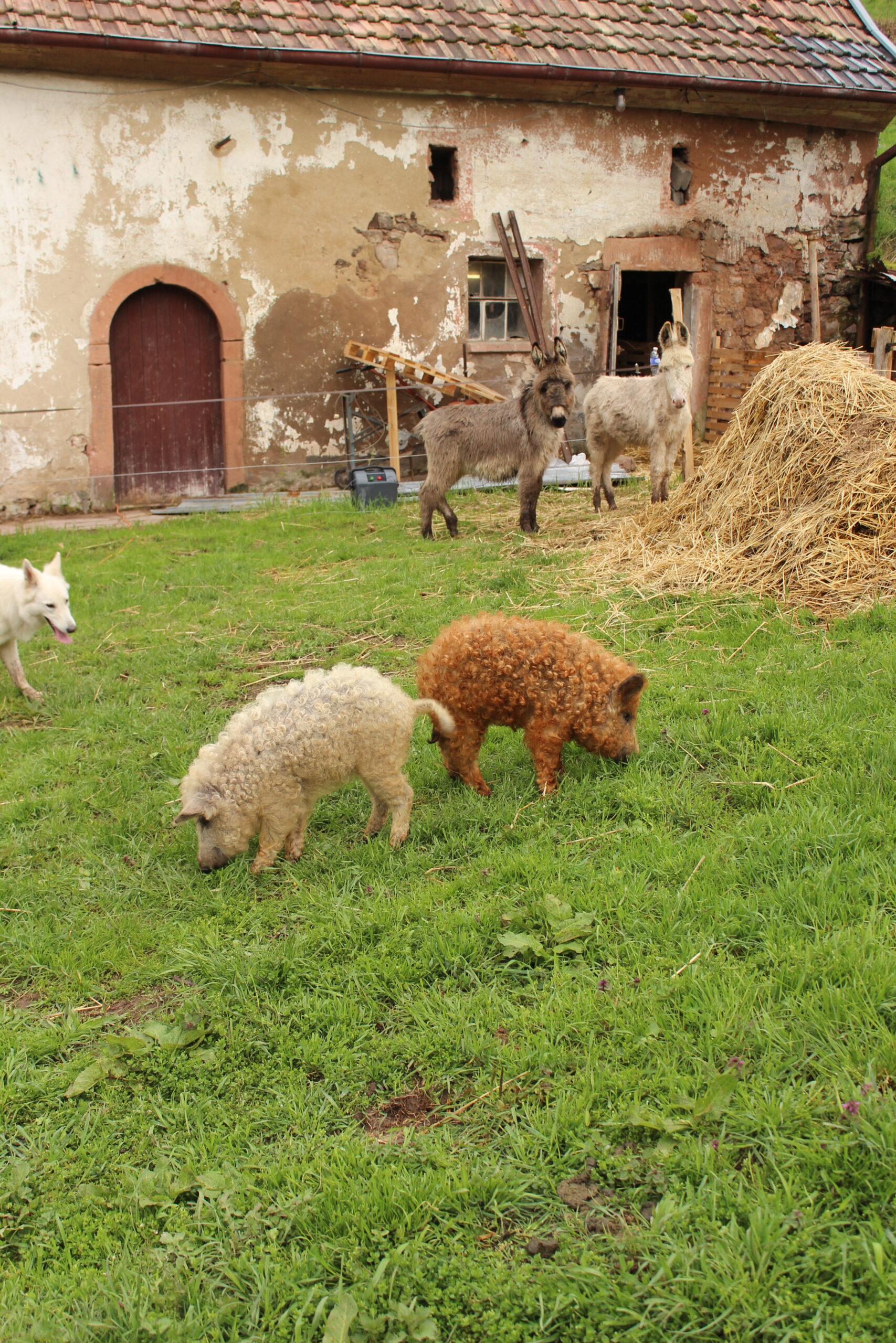 cochons-laineux-coquine-rouquine-une-ferme-a-la-bassette