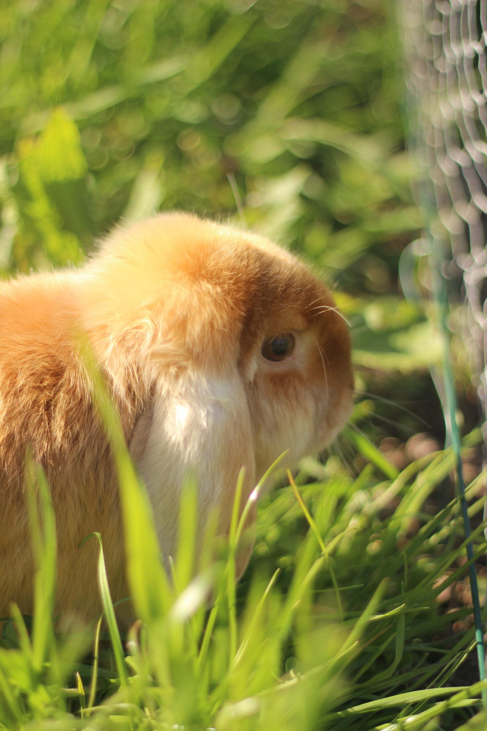 lapine-joly-une-ferme-a-la-bassette
