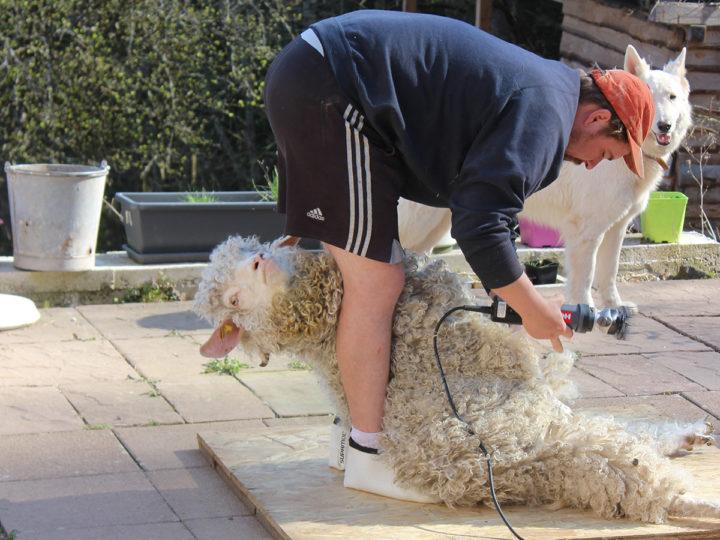 Dimanche 27 juin TONTE des chèvres Angora et VISITE de la ferme